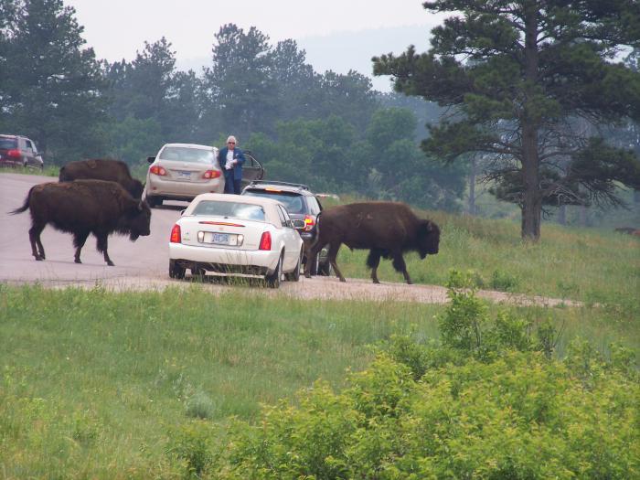 Custer Park - Buffalo in the road