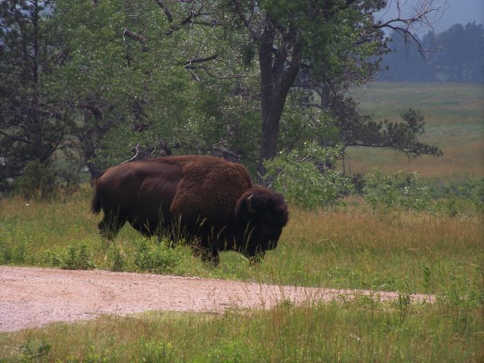 This was one big Buffalo