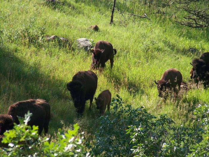 Custer Park - Driving through the park on way home - More Buffalo
