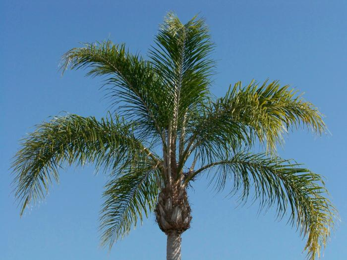 Palm Blue Sky 100 1054