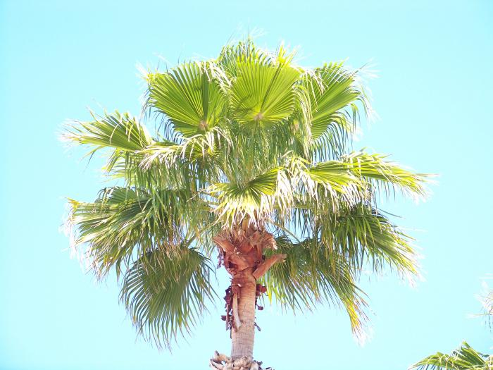 Palm Tree 100 0992