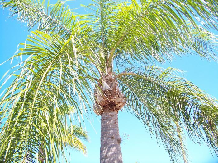 Palm Tree Up 100 0990